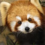 animal brown_eyes close-up fur grass leaf looking_at_viewer no_humans nose photorealistic red_panda solo usatan_(artist) whiskers
