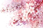 branch cherry_blossoms close-up commentary_request flower gradient no_humans original petals pink_flower pink_petals simple_background white_background white_flower white_petals wind