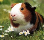 animal animal_focus black_eyes blurry blurry_background commentary_request daisy dated day depth_of_field flower grass guinea_pig highres looking_at_viewer no_humans original outdoors signature tama_yu white_flower